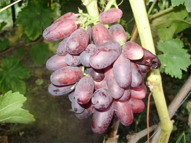 Виноград сорта изюминка: описание, фото, особенности выращивания