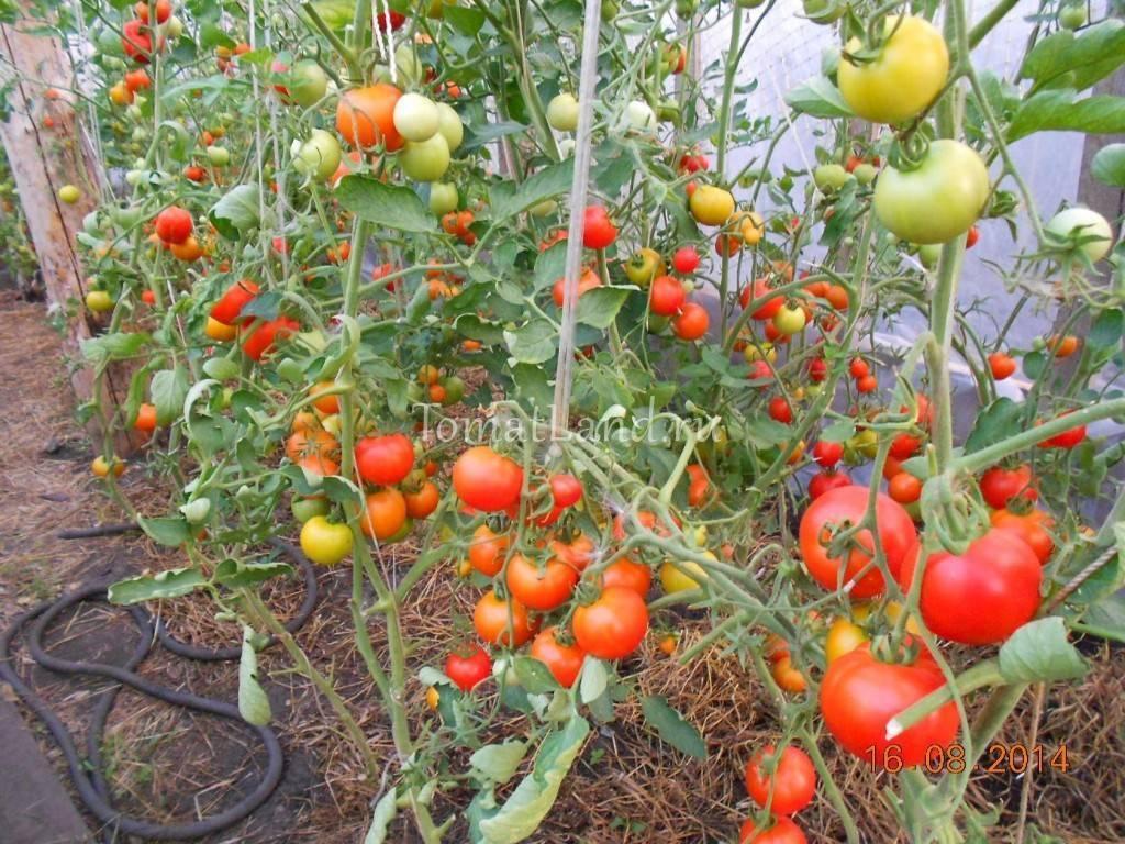 Сорт томатов Верлиока — характеристика и особенности выращивания