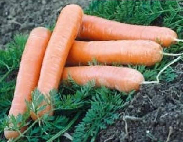 Разноцветная морковь как вырастить это и какие у него есть приложения