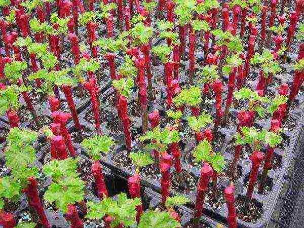 Как размножить виноград черенками: лучшие способы и сроки посадки для разных регионов