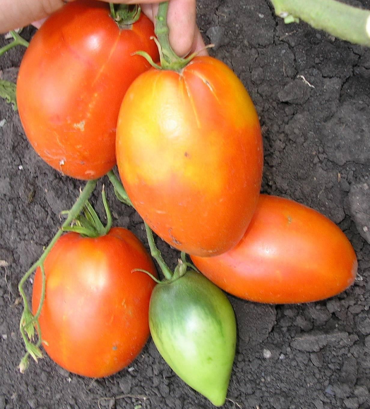 Величавый «сибиряк» — томат кенигсберг