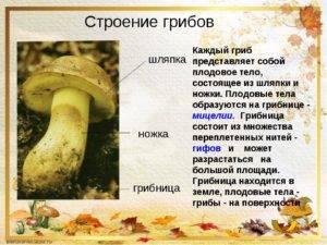 Плодовое тело гриба: чем образовано, что это такое