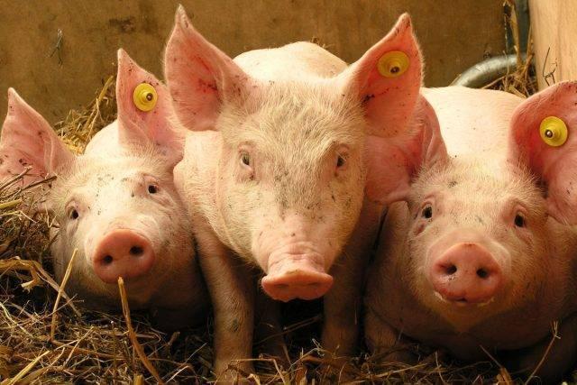 Кормовые дрожжи для крс (коров, быков, телят) — химический состав, дозировка, инструкция по применению