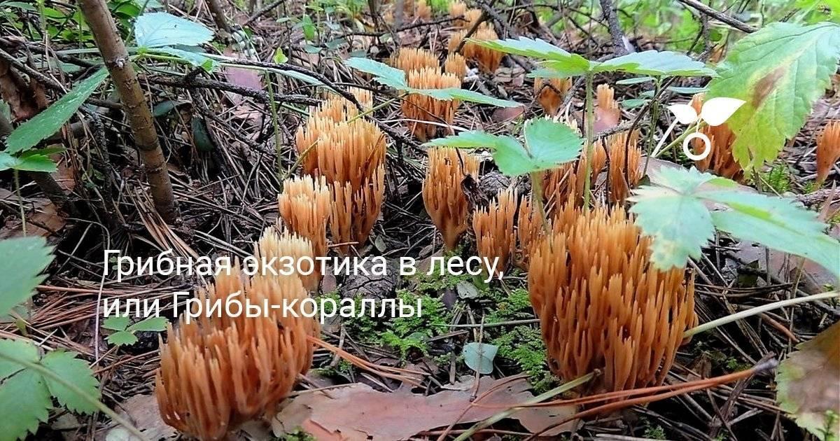 Характеристика, разновидности и фото коралловых грибов