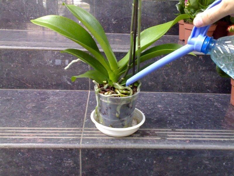 Все о том, когда пересаживать орхидею после покупки