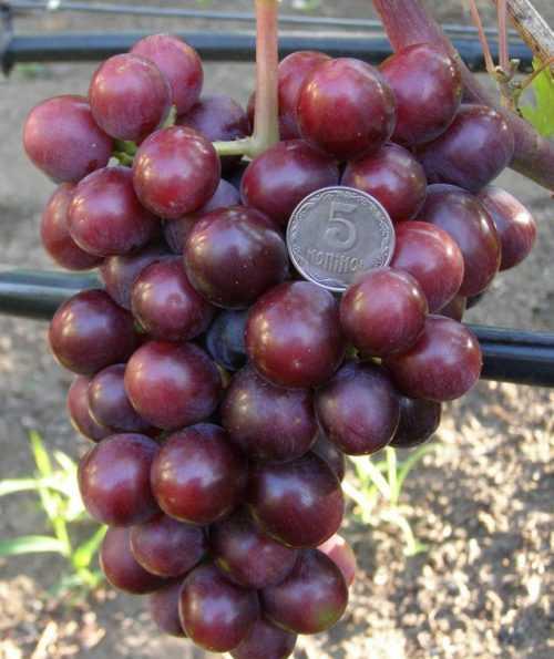 Сорт винограда подарок ирине: описание, фото и отзывы садоводов
