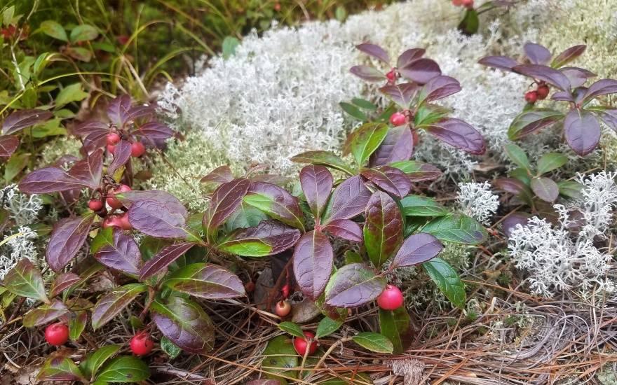 Гаультерия посадка и уход в открытом грунте зимовка размножение