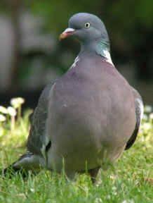 Где живут голуби, образ жизни птиц, продолжительность жизни домашних и диких голубей