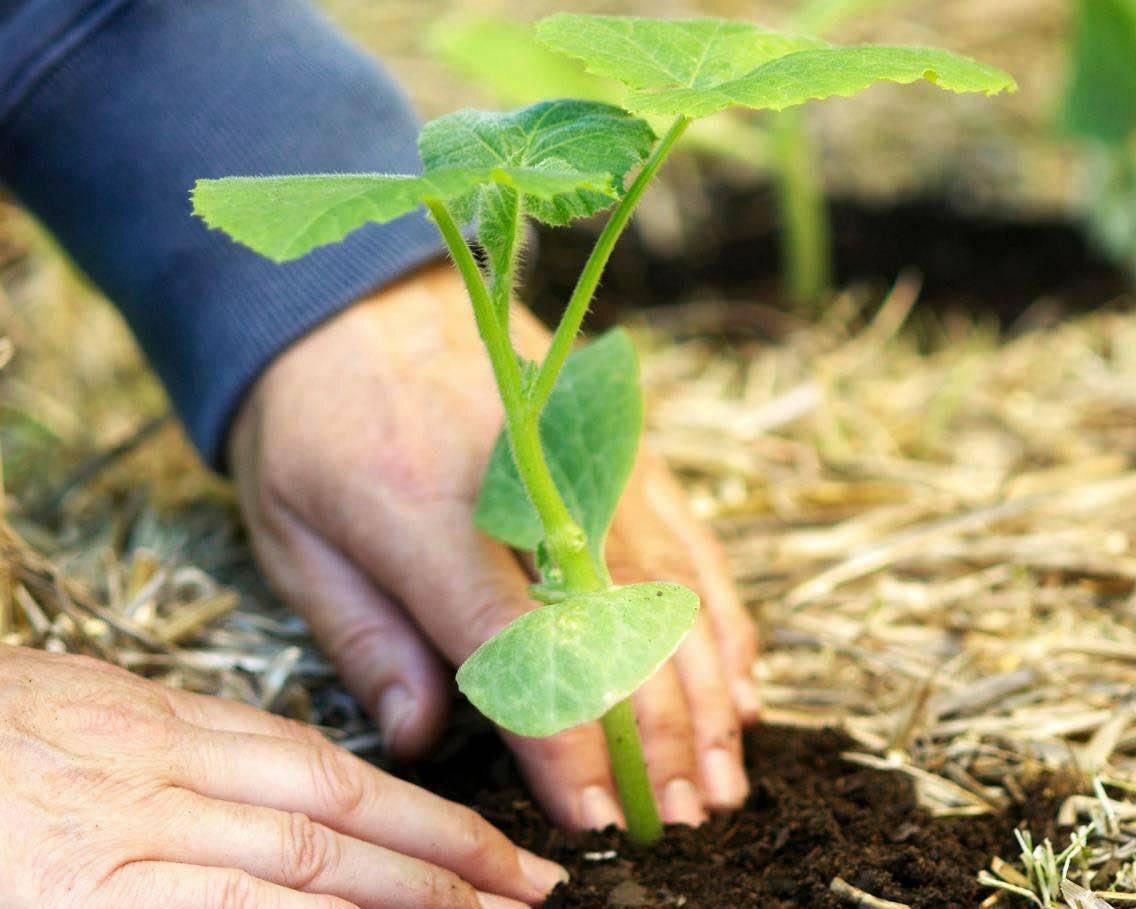 Выращивание патиссонов в открытом грунте / полив сортов плодов овощей в саду