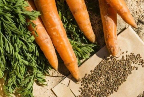 Как увеличить урожайность моркови? нужно ли замачивать семена перед посадкой?