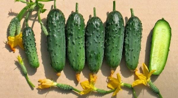Характеристика огурцов сорта берендей - мыдачники