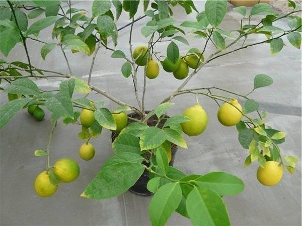 Комнатный лимон: описание сорта и характеристики вкуса плода комнатный лимон: описание сорта и характеристики вкуса плода