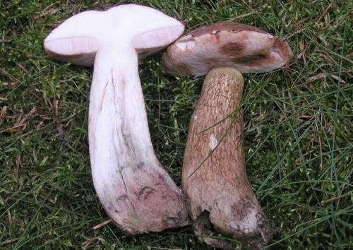 Грибы как лекарство: как в народной медицине применяют лисичку, подосиновик и белый гриб | огородники