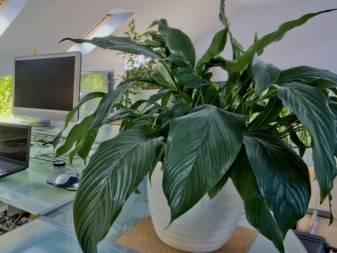 Тенелюбивые комнатные растения - названия и фото неприхотливых цветов