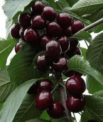Черешня валерий чкалов: описание сорта и рекомендации по выращиванию