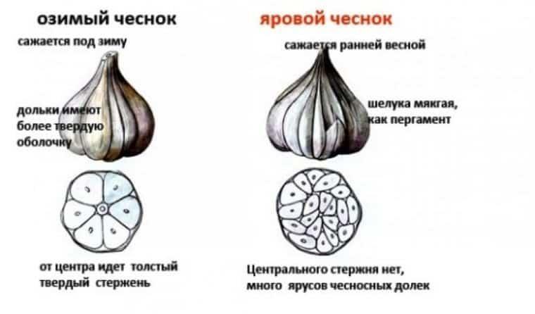 Как и когда сажать озимый чеснок осенью под зиму