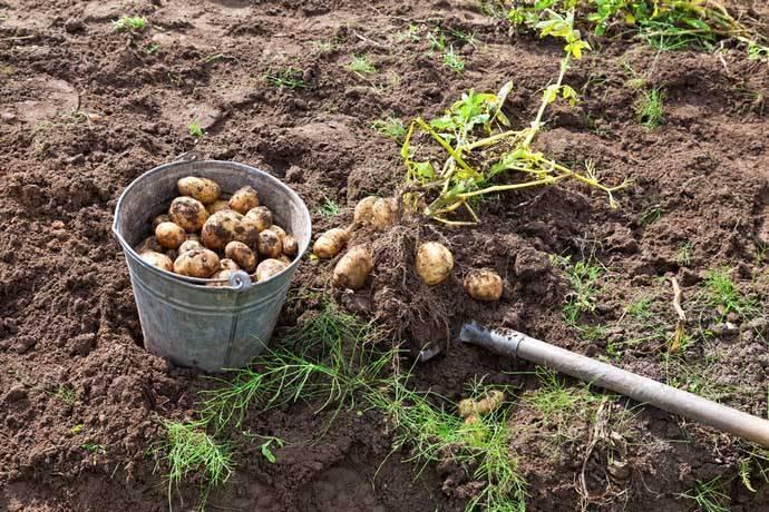 Характеристика и описание картофеля сорта каратоп