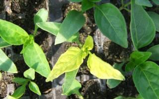 Фиолетовые листья у перца: причины заболевания, как лечить