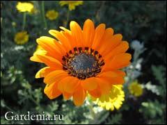 Выращивание диасции из семян: простые способы для ярких клумб