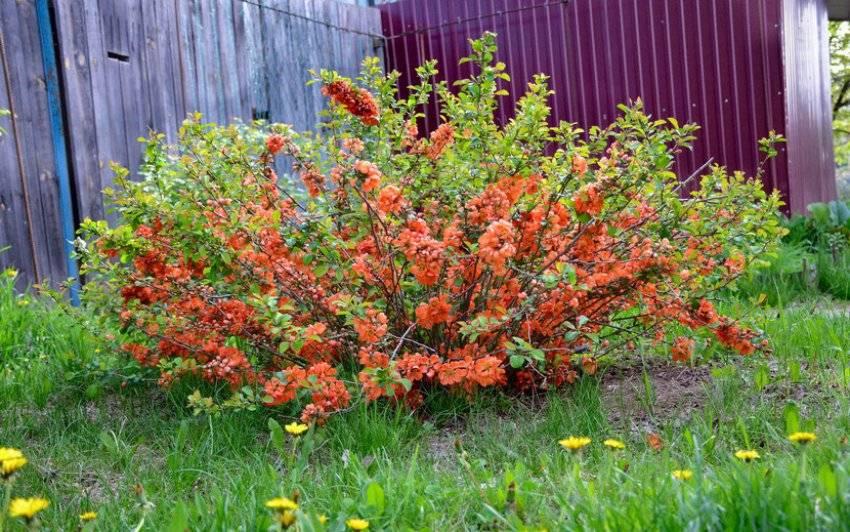 Размножение японской айвы: семенами, выращивание, посадка и уход размножение японской айвы: семенами, выращивание, посадка и уход