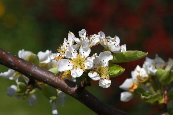 Пошаговое руководство по правильной посадке груши весной