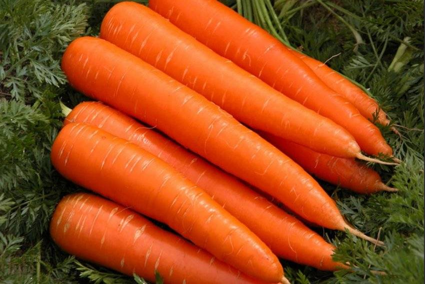 Морковь тушон описание сорта - агро журнал dachnye-fei.ru