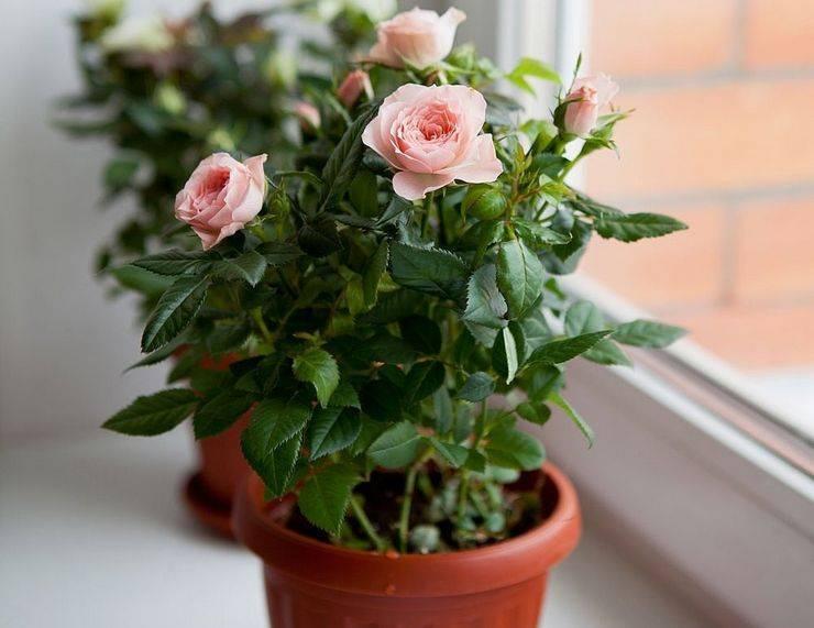Домашние розы в горшках: как за ними ухаживать?