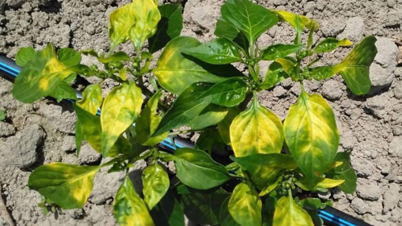Почему у рассады перца опадают нижние листья: что делать - про сорта