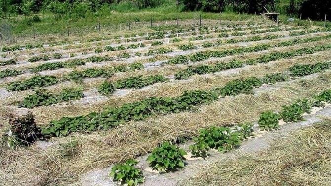 А давайте посадим картофель на узких грядах и посмотри результат!