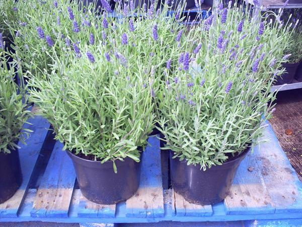 Выращивание лаванды: посадка в открытый грунт в саду, в домашних условиях, в подмосковье, в ленинградской области, размножение цветка, уход