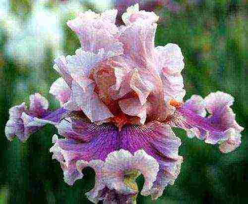 Цветы ирисы: посадка, уход и выращивание в открытом грунте