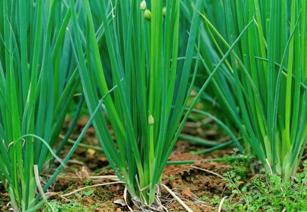 Посадка семян лука на зелень