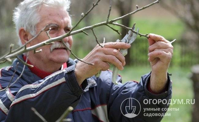 Как сформировать крону яблони? схемы, советы и важные правила