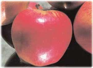Неприхотливая яблоня легенда