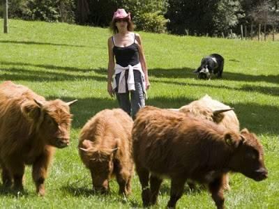Голландская корова (20 фото): характеристики породы, преимущества и недостатки. сколько молока дает голубая голландская корова?