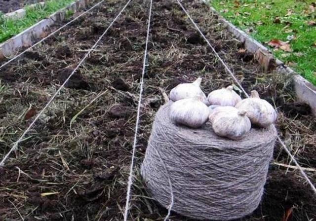 Все о посадке чеснока под зиму: когда осенью это делать, как выбрать сорт, как заделывать в открытый грунт?
