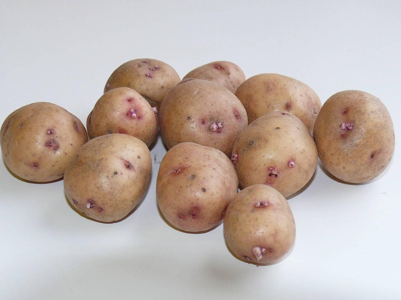Картофель сынок: описание сорта, фото, отзывы, уход, урожайность и особенности