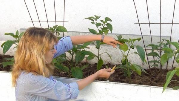 Как формировать куст перца в теплице и в открытом грунте