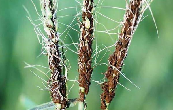 Головня грит паразит на пшенице, ячмене, ржи (злаковых): что это?