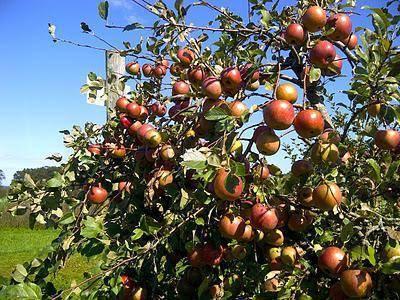 Сортовая яблоня уэлси