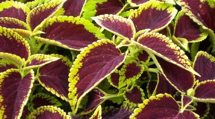 Семена колеуса: выращивание рассады в домашних условиях. как выглядят семена колеуса и в какие сроки надо сажать?