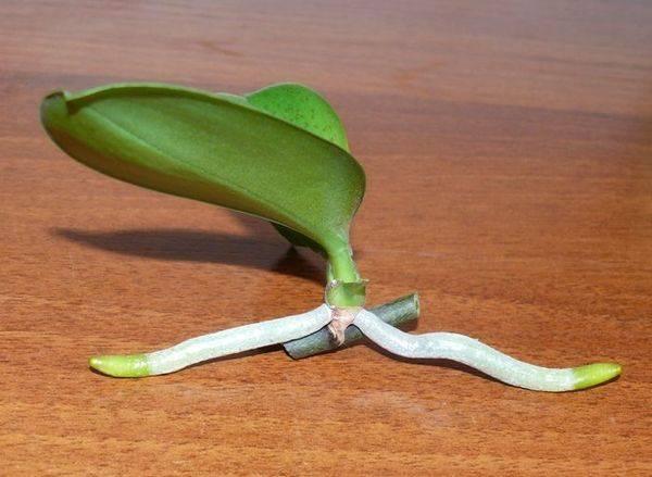 Узнайте, как посадить детку орхидеи в домашних условиях
