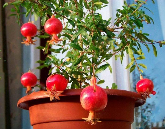 Выращивание растения Комнатный гранат — уход в домашних условиях
