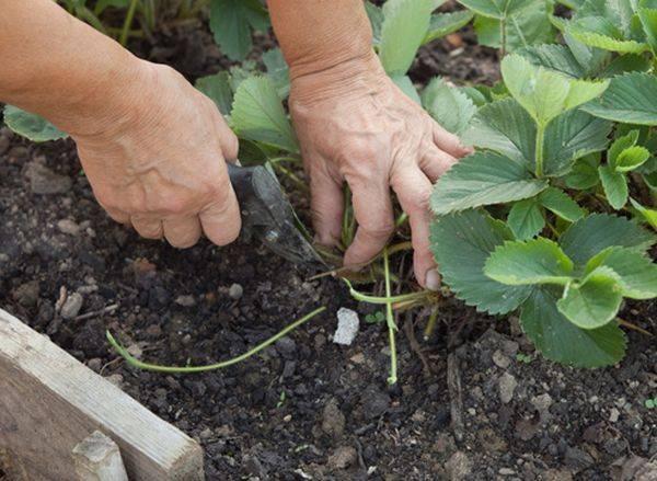 Уход за клубникой весной на даче на открытом участке: удобрения