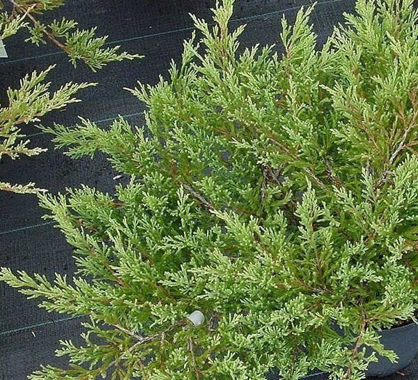 Горизонтальный можжевельник андорра компакт — особенности выращивания в саду