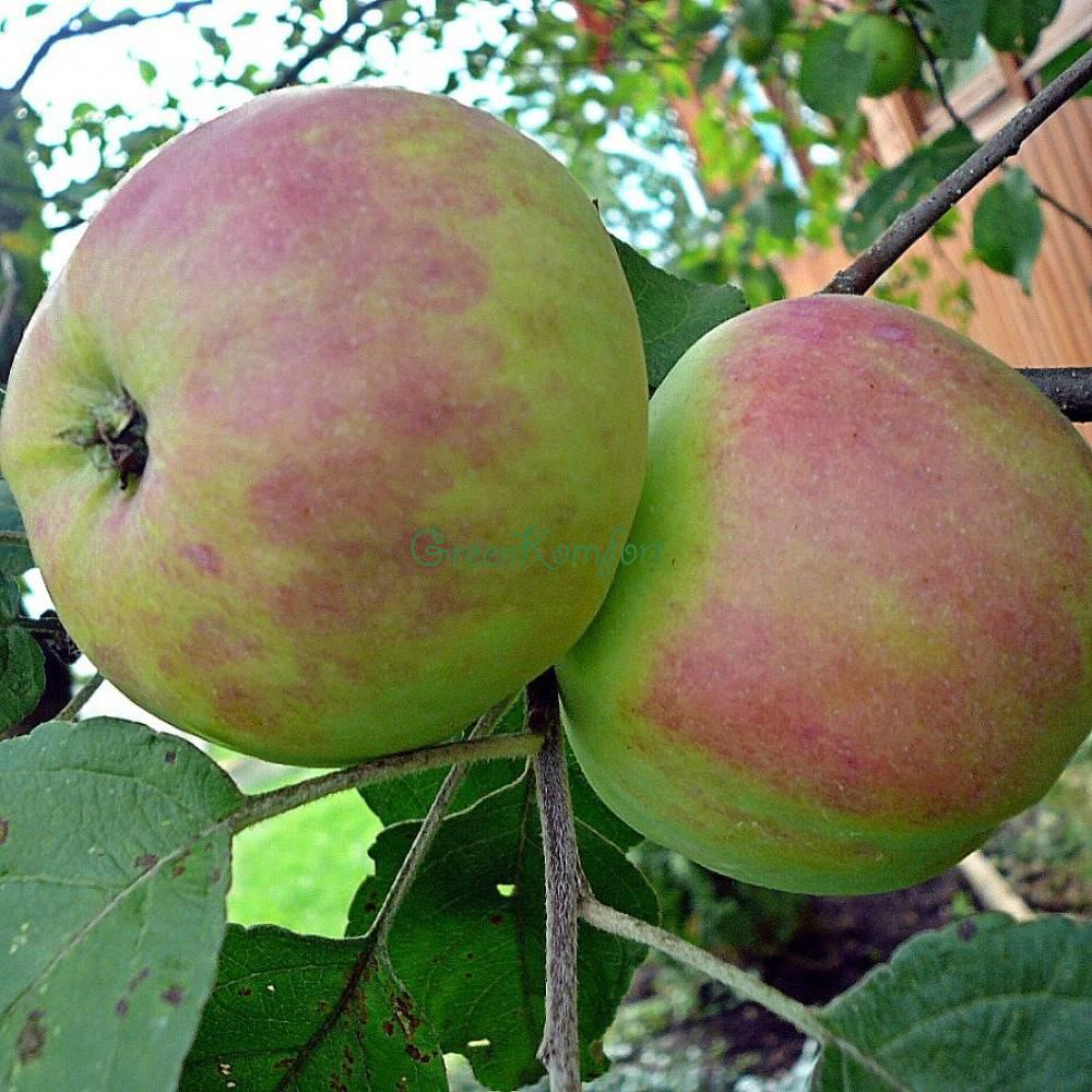 Яблоня бельфлер-китайка: настоящая классика садоводства