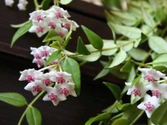 Растение хойя (восковик): правила ухода и выращивания.