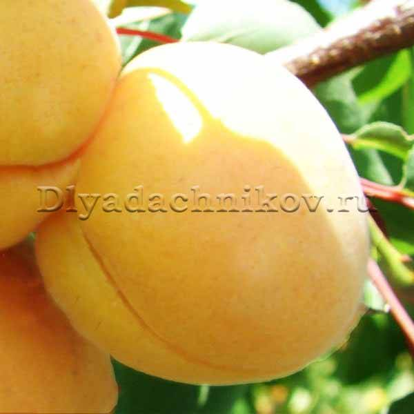"""Колоновидный абрикос """"принц март"""", лучшие советы по выращиванию для начинающих садоводов"""