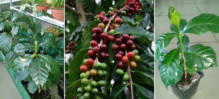 Кофейное дерево: посадка, уход и пересадка в домашних условиях, возможные болезни и вредители (+фото)
