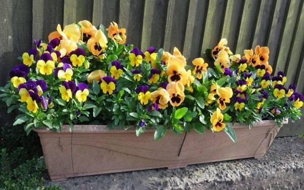 Фиалка садовая: особенности посадки и ухода, сорта и фото